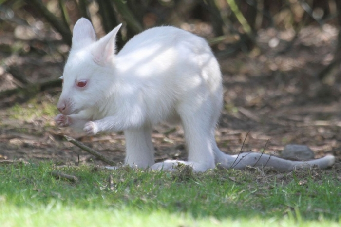 W3bGoYgh Have You Ever Seen a White Kangaroo Before?
