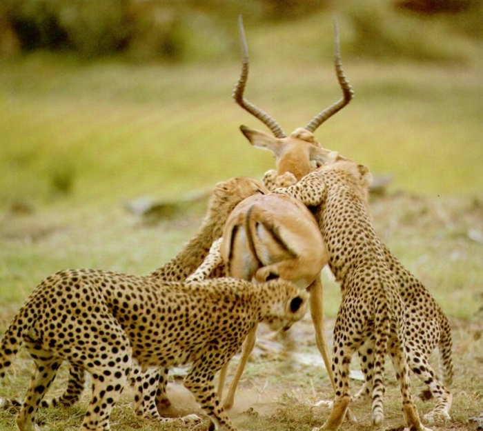 WC-Hunt.cheetahs1 Is Cheetah Going to Be Extinct & Disappear from Our Life?