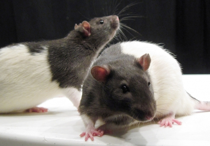 WT_and_TK_rat_photo Why Are the White Rats Extremely Important?