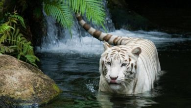 Photo of Why Are These Rare & Weird Tigers White?