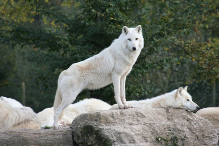 White-Wolf-03 Serious Facts You Must Know about the White Snow Wolf