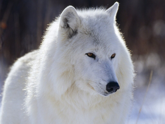 White-Wolf-wolves-4964030-1024-768 Serious Facts You Must Know about the White Snow Wolf