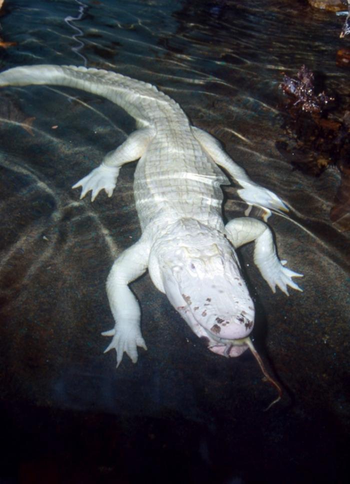 White-american-alligator-copy Do White Alligators Really Exist on Earth?