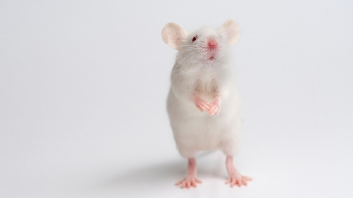 White-mouse-011 Why Are the White Rats Extremely Important?