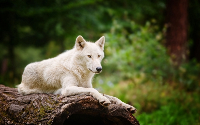 White-wolf. Serious Facts You Must Know about the White Snow Wolf