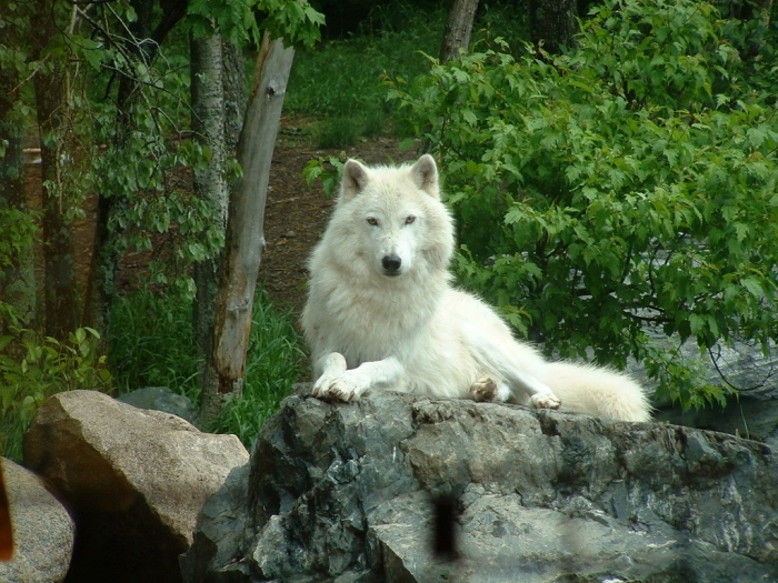 WhiteWolf Serious Facts You Must Know about the White Snow Wolf