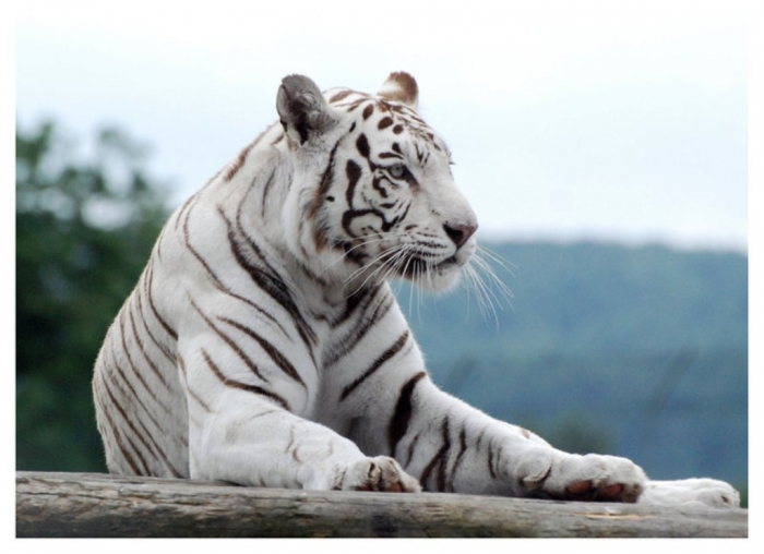 White_Tiger_5_by_WeAreAwake Why Are These Rare & Weird Tigers White?