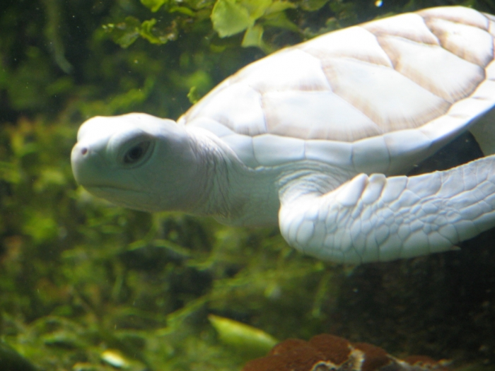 White_Turtle_by_afira Do the White Turtles Really Exist on Earth?