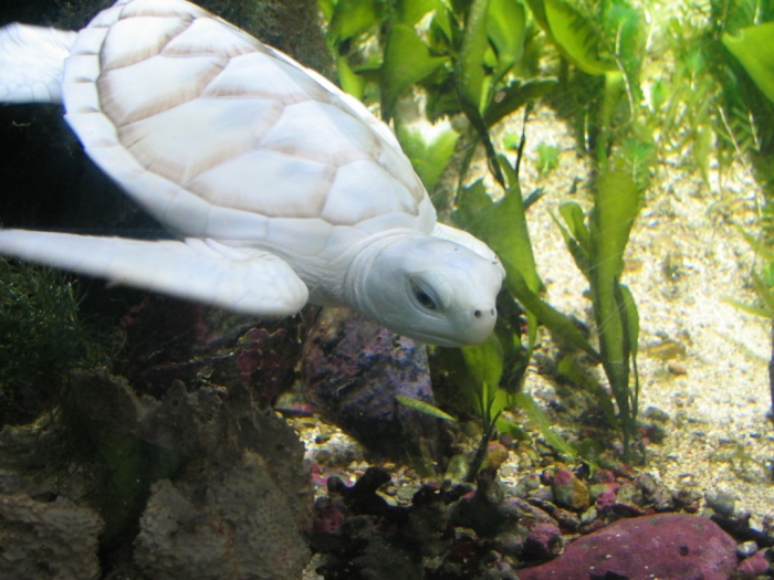 White_Turtle_v2_by_afira Do the White Turtles Really Exist on Earth?