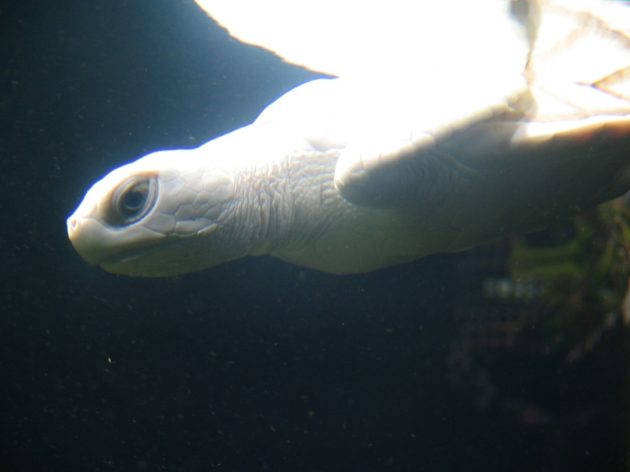 White_Turtle_v3_by_afira Do the White Turtles Really Exist on Earth?