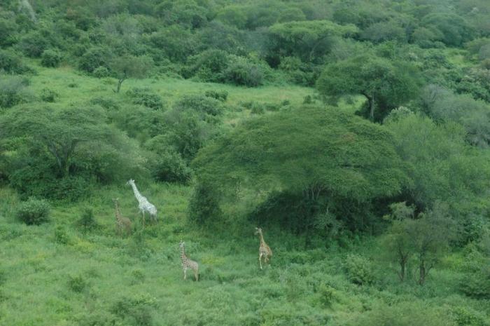 White_giraffe Rare White Giraffes Spotted in Different Areas