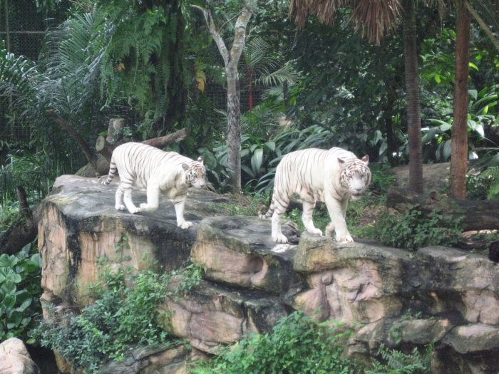 White_tigers_Singapore_Zoo Why Are These Rare & Weird Tigers White?