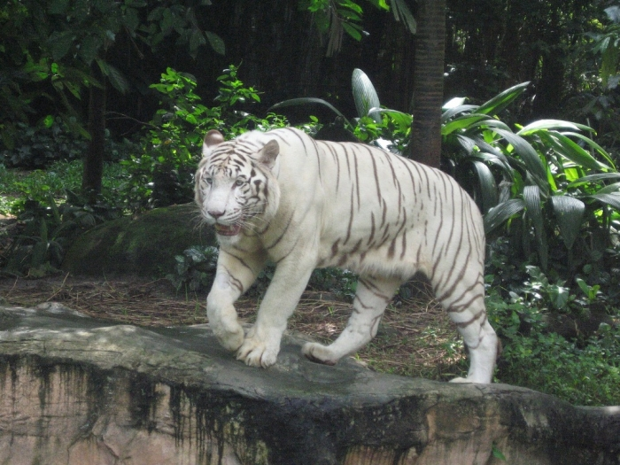 White_tigers_Singapore_Zoo_11 Why Are These Rare & Weird Tigers White?