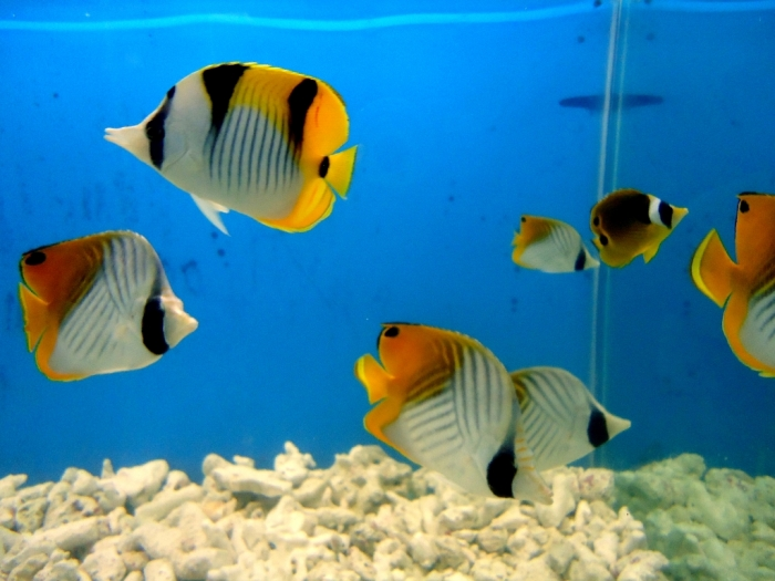 Yellow_Aquarium_Fish What Are the Kinds of Fish You Can Put in Your Fish Tank?