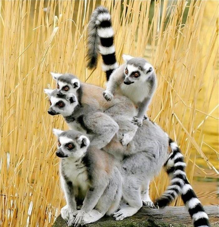 a.aaa-lemurs-lemurs2 Are Lemurs Ghosts, Monkeys Or Just Strange Creatures?