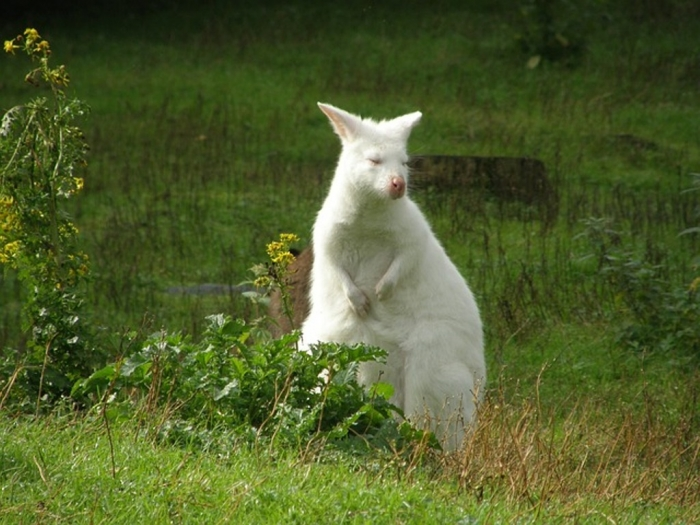 albino-325995_640 Have You Ever Seen a White Kangaroo Before?