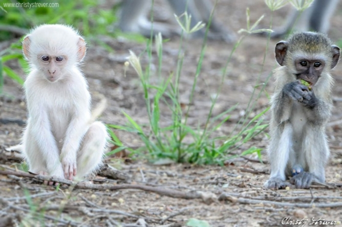 albino-baby-monkeys1 The Only White Monkey in the Whole World