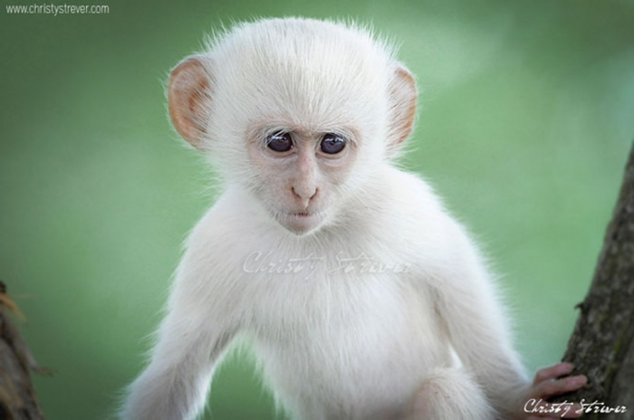 albino-monkey1 The Only White Monkey in the Whole World