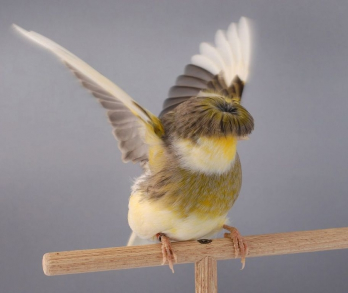 """all-about-the-canary-5304d5a6a98e91 """" Canary"""" The Bird of Kings, Rich People & Miners"""