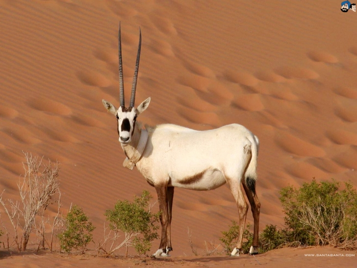 ani29v The Arabian Oryx Returns Back to Life