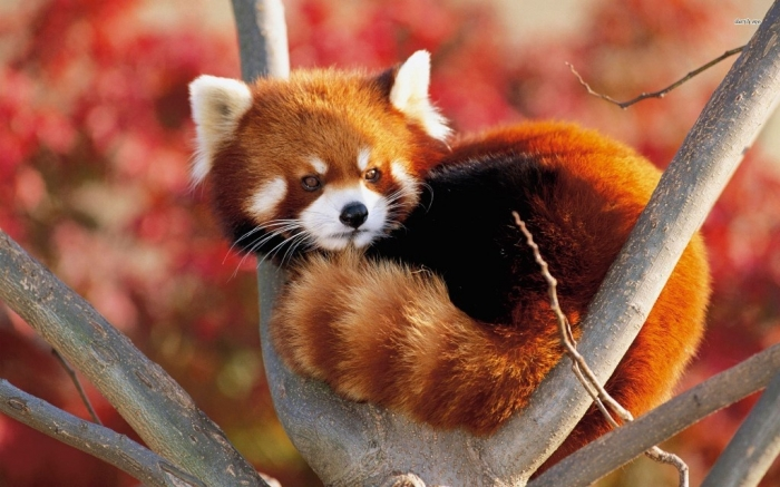 animal-wallpapers-red-panda-hd-wallpaper-wallpaper-325094 Is the Red Panda a Cat, Bear or Raccoon?