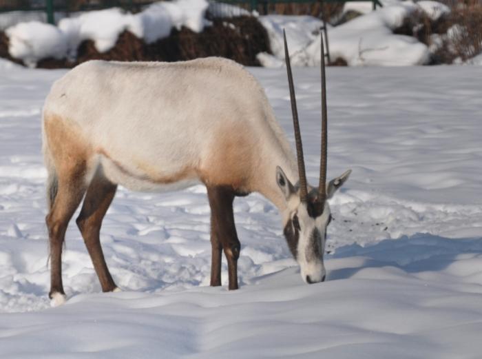 arabian-oryx-105-kru The Arabian Oryx Returns Back to Life