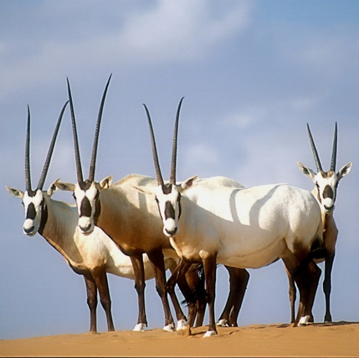 arabian_oryx_david_mallon The Arabian Oryx Returns Back to Life
