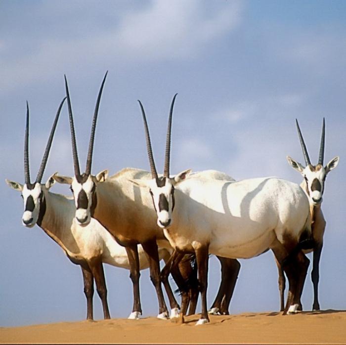 arabian_oryx_david_mallon The Arabian Oryx Returns Back to Life
