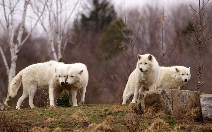 arctic-wolf-pack-305088 Serious Facts You Must Know about the White Snow Wolf