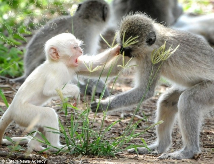 article-2589986-1C92DDD200000578-449_634x4861 The Only White Monkey in the Whole World