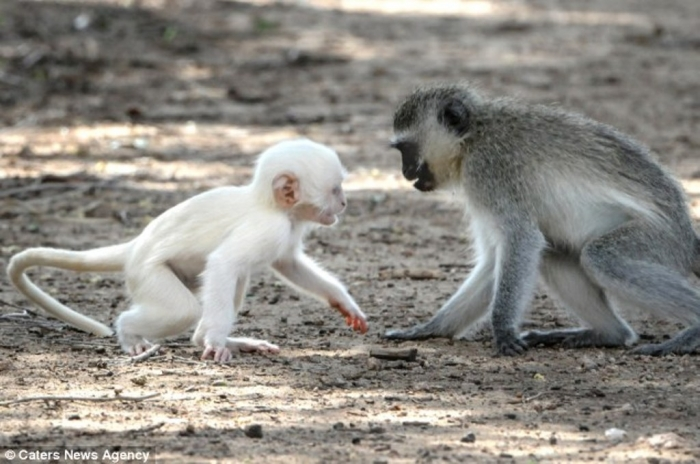 article-2589986-1C92DFA100000578-761_634x4211 The Only White Monkey in the Whole World
