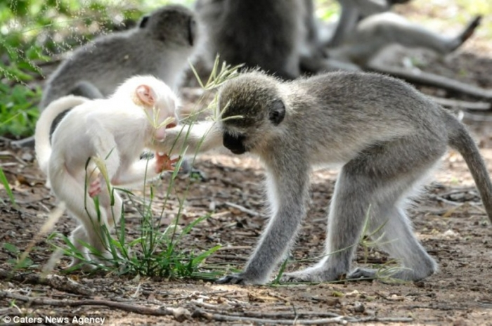 article-2589986-1C92DFA600000578-263_634x4211 The Only White Monkey in the Whole World