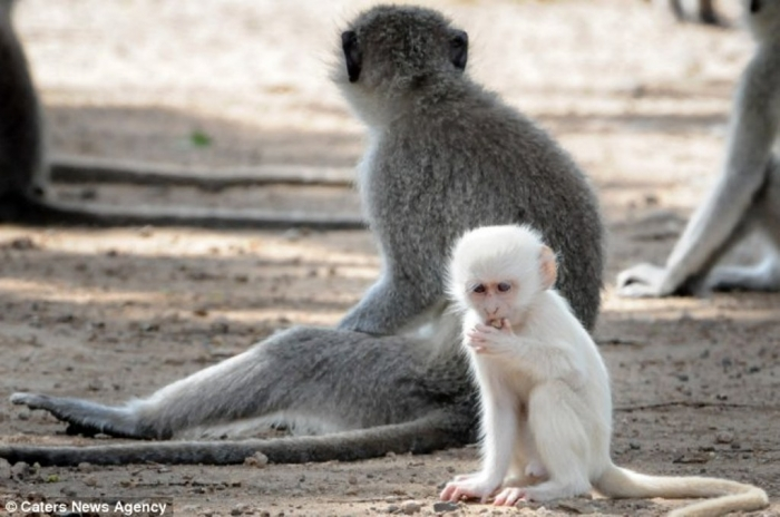 article-2589986-1C92DFCA00000578-822_634x4211 The Only White Monkey in the Whole World