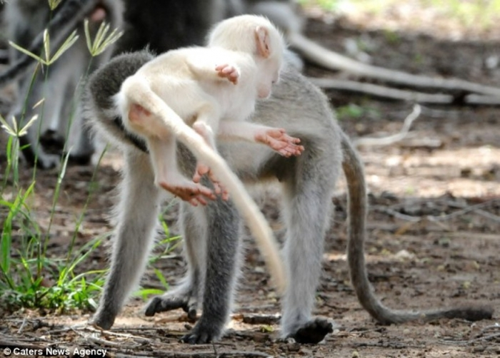 article-2589986-1C92E03100000578-76_634x4551 The Only White Monkey in the Whole World
