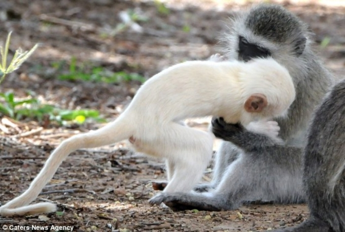 article-2589986-1C92E23B00000578-775_634x4281 The Only White Monkey in the Whole World
