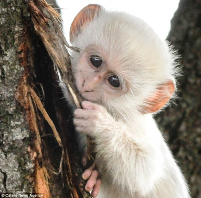 article-2589986-1C92E23F00000578-914_634x6261 The Only White Monkey in the Whole World