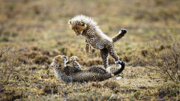 baby-cheetah-wallpaper Is Cheetah Going to Be Extinct & Disappear from Our Life?