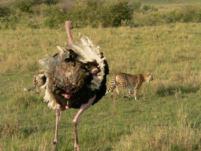 beautiful-dangerous-animal-attacks-Ostrich-chasing-off-cheetah Is Cheetah Going to Be Extinct & Disappear from Our Life?