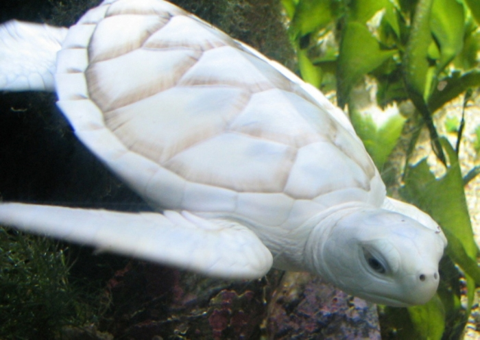 beyaz Do the White Turtles Really Exist on Earth?