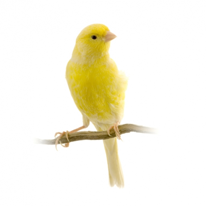 "bigstockphoto_yellow_canary_on_its_perch_12067622 "" Canary"" The Bird of Kings, Rich People & Miners"