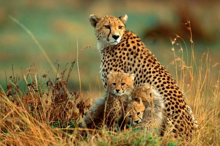 bulkupload_animal-wallpapers_Cats_Cheetah-1 Is Cheetah Going to Be Extinct & Disappear from Our Life?