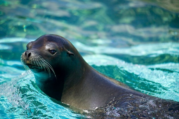 """california_sea_lion Is It """"Sea Lions Or Sea Bears"""" You Have to Decide"""