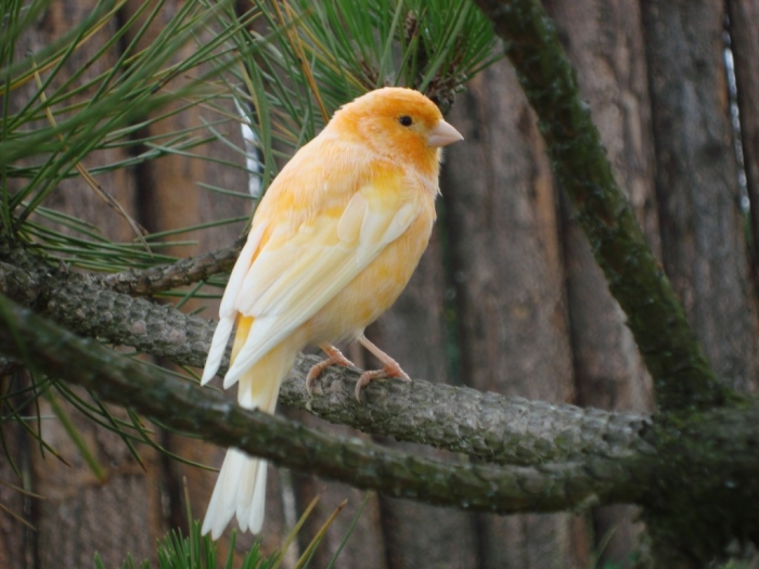 """canary-factor-bird-best-HD-wallpaper-1024x7682 """" Canary"""" The Bird of Kings, Rich People & Miners"""