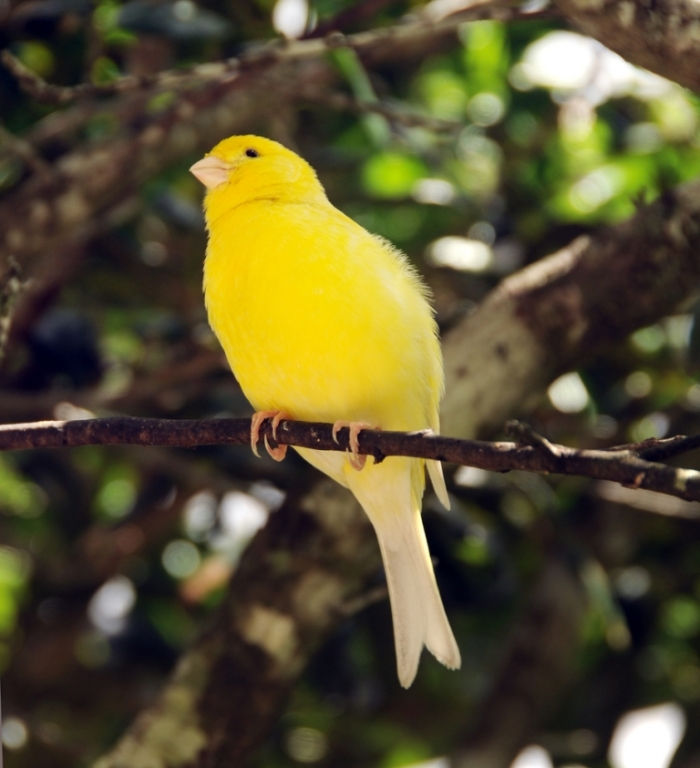 """canary2 """" Canary"""" The Bird of Kings, Rich People & Miners"""