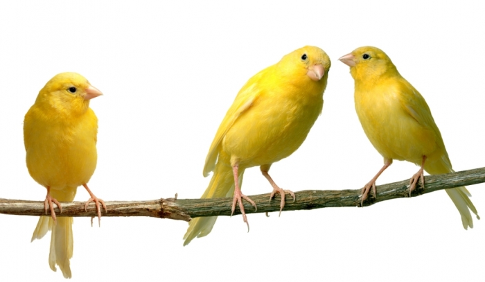 """canary_23 """" Canary"""" The Bird of Kings, Rich People & Miners"""