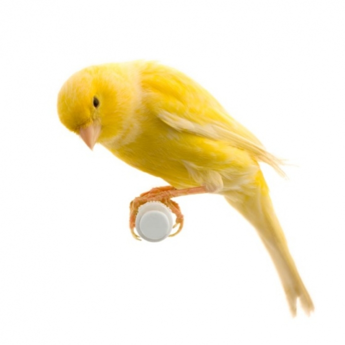 "canarybird2 "" Canary"" The Bird of Kings, Rich People & Miners"