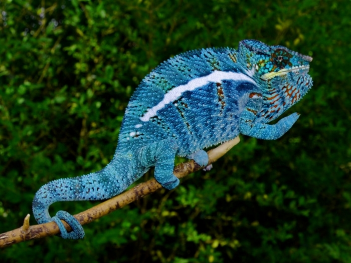 chameleon_blue2 How Can the Chameleon Change Its Color?