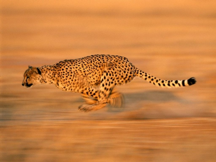 cheetah-run_494_990x742 Is Cheetah Going to Be Extinct & Disappear from Our Life?