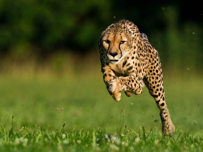 cheetah-world-speed-record-set_57554_990x742 Is Cheetah Going to Be Extinct & Disappear from Our Life?