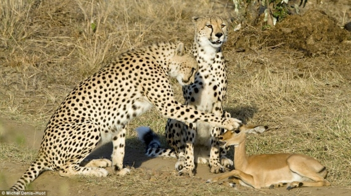 cheetahpat Is Cheetah Going to Be Extinct & Disappear from Our Life?